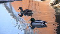 Da har dyrelivet våknet til liv i Hovinbekken, nå som vinteren slipper taket og våren kommer. I dag kunne jeg telle 3 par med ender som hadde funnet plass i […]