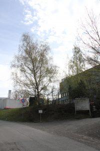 Trær på Ensjø 2 (13)
