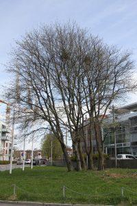 Trær på Ensjø 2 (16)