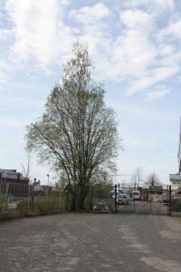 Trær på Ensjø 2 (21)