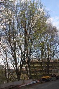 Trær på Ensjø 2 (48)