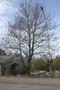 Trær på Ensjø 2 (5)