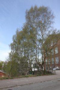 Trær på Ensjø 2 (6)