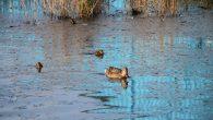 Trivselen og miljøet i Teglverksdammen blir bare bedre og bedre. Etter en litt kald start på våren, så har det blitt litt fart i kjærlighetslivet til dyrene i dammen. Dette […]