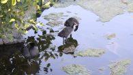 I slutten på mai ble det klart at Sothønene for andre året på rad hadde fått unger. Nå har det gått litt over en måned og de 5 ungene har […]