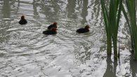 Ensjø aktuell informasjon har i flere år fulgt Sothønene i Teglverksdammen på Hasle/Ensjø. Nå i slutten av mai har begge parene som hekker i dammen fått unger. Det ene […]