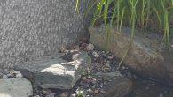 Om dette er en stor eller liten nyhet får du vurdere selv, men nå er Fossekallen avbildet i Hovinbekken på Ensjø! Line Helmer har i dag sendt Ensjø Aktuell Informasjon […]