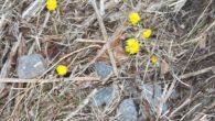 Hestehoven er her! I sør-vest vendte skråninger blant tørre strå og blader på Ensjø kan man se at våren tydelig er i anmarsj, for nå har hestehoven startet å blomstre. […]