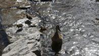Denne uka dukket de første andungene opp i Hovinbekken. De hadde i går en ganske strabasiøs ferd opp Hovinbekken. Andefamilien startet turen med 11 andunger i bekken nede ved Rema […]