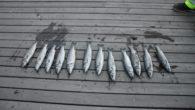Husker du saken om 12 døde havabborer i Teglverksdammen på Hasle/Ensjø – Nå er videoen klar. For den faste leser av Ensjø aktuell informasjon så vil man kanskje huske tilbake […]