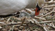 Ensjø aktuell informasjon har denne uken fulgt ekstra godt med på svanene som ligger på rede i Hovindammen. I går lagde jeg en kort video av aktiviteten. I dag har […]