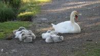 Det ser ut til at svanefamilien med de syv svaneungene som holder til i Hovindammen på Ensjøområdet trives og har det flott. Det var fredag 22.mai på morgenen de første […]