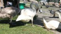 I lengre tid har Ensjø aktuell informasjon fulgt med på svanene i Hovindammen og i flere uker har svaneforeldrene jobbet med å lære ungene å fly. Det er en essensiell […]