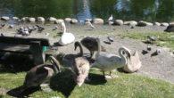 Svane paret med de syv svaneungene trives og har det flott i Hovindammen. Ungene nærmer seg nå å være 3 måneder gamle. De er snart like store som foreldrene, så […]