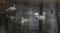 Isen er i ferd med å legge seg på Hovindammen på Valle området og dette gjør at svanene får mindre plass og snart må komme seg av gårde. I går […]