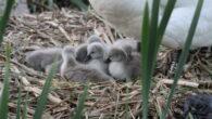 Svanene som har tilhold i Hovindammen, har for andre år på rad levert nabolaget nydelige svaneunger. Denne gangen er det klekket 8 svaneunger, det er en mer enn i 2020.Svanene […]