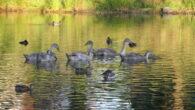 Svaneparet med de syv svaneungene trives og har det flott i Hovindammen. Ungene er nå blitt 3 måneder gamle. De er snart like store som foreldrene, så det betyr at […]